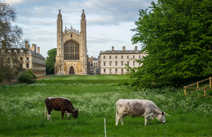 Grazing cows on the Back Lawn of King's College in Cambridge