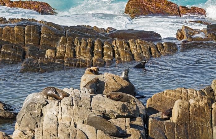 A colony of 7,000 + seals test the waters around Cape du Couedic