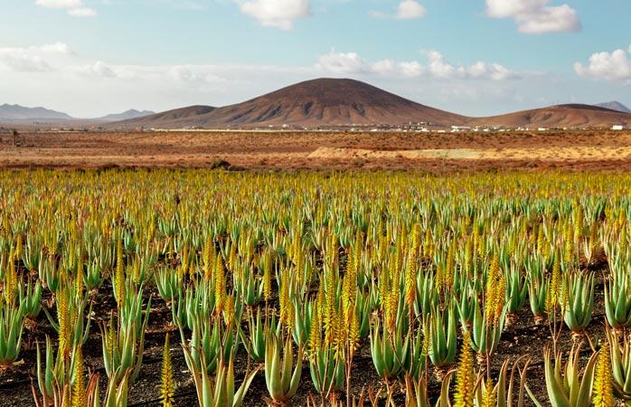 Aloe vera, one of the island's main produce