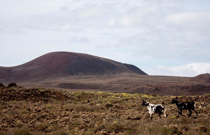 Goats are an integral part of Fuerteventura