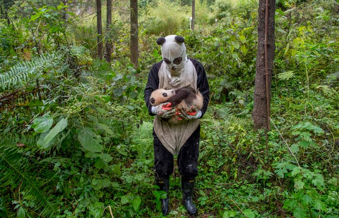 Wolong Panda Center, China: captive-bred panda bears are trained for life in the wild and this means as little human contact as possible. All caretakers wear costumes that make them look like pandas