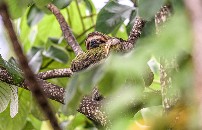 The three-toed sloth is one of Costa Rica's most beloved animals