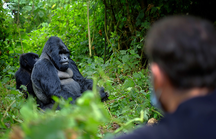 The mountain gorilla, one of Rwanda's most famous citizens